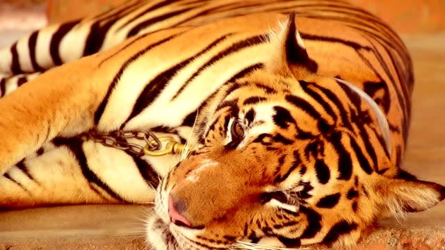 Closeup of tiger