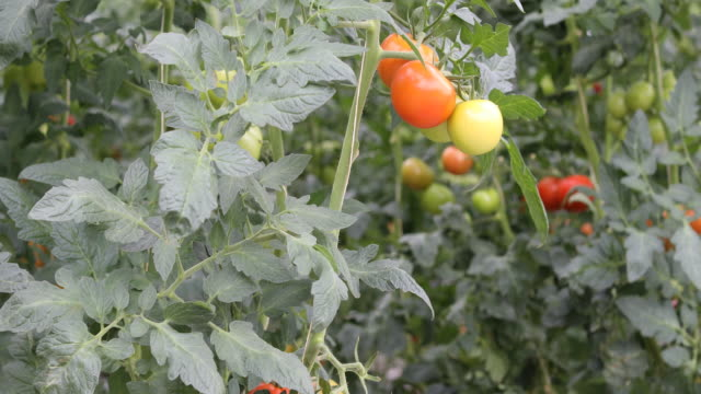 vídeos de stock e filmes b-roll de close-up of tomato plants in greenhouse - maduro