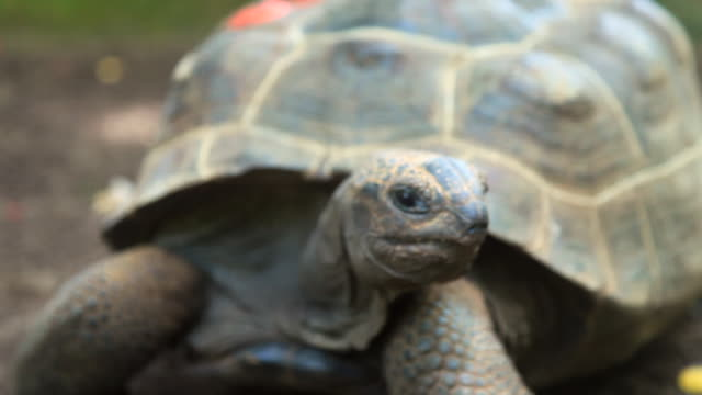 close-up of tortoise chewing and swallowing - tortoise stock videos & royalty-free footage