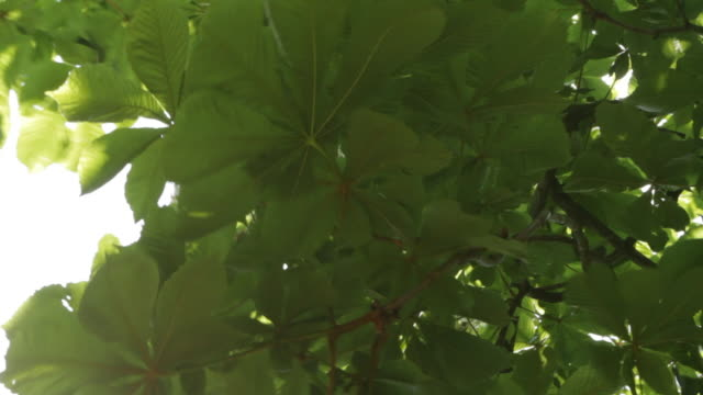 Close-up of Tree Leaves in Summer Wind.