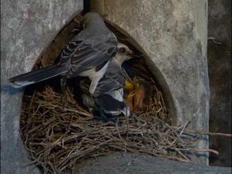 vídeos y material grabado en eventos de stock de close-up of two birds feeding their young - grupo pequeño de animales