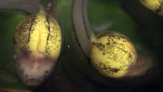 close-up of two glass frog larvae (tadpoles) developing in their eggs, ten days after being laid. - biology stock videos & royalty-free footage