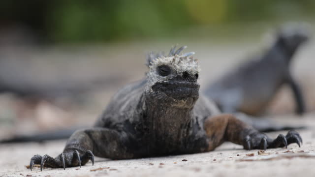 Close-up of two marine iguanas on the beach in Santa Cruz, Galápagos, Ecuador