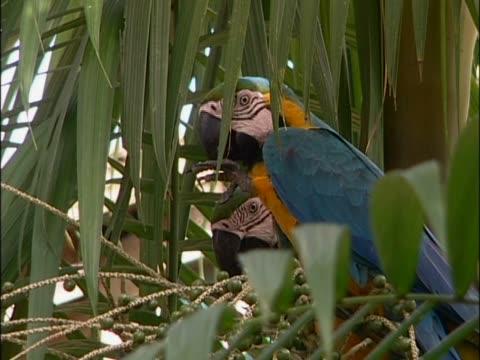 vidéos et rushes de close-up of two parrots perching on a branch - membre partie du corps