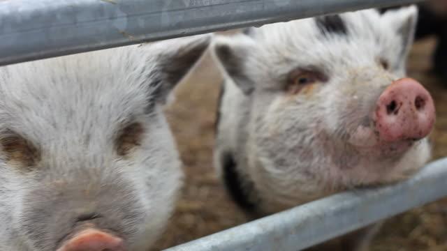 Nahaufnahme von zwei Schweine, zwei clips