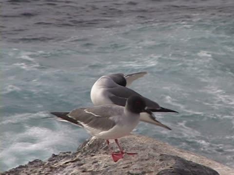 vídeos y material grabado en eventos de stock de close-up of two red-footed booby on the rock - alcatraz patirrojo