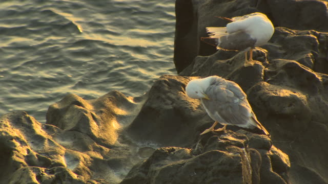 close-up of two seagulls pluming their feathers during a golden sunrise by the tyrrhenian sea, italy. - 毛づくろい点の映像素材/bロール