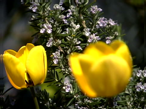 close-up of two yellow tulips - plant bulb stock videos & royalty-free footage