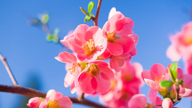 closeup of vibrant pink cherry blossoms on cherry tree branch with fluffy flower petals in spring - germoglio video stock e b–roll