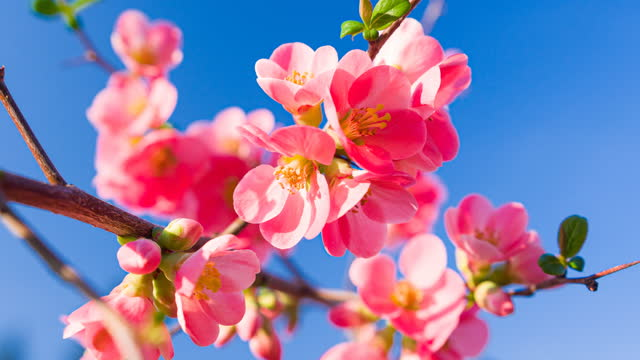 vídeos de stock e filmes b-roll de closeup of vibrant pink cherry blossoms on cherry tree branch with fluffy flower petals in spring - brightly lit