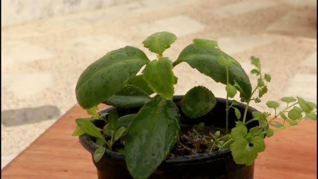closeup of watering plant - bryophyllum pinnatum - flower pot stock videos and b-roll footage