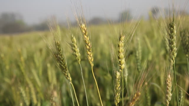 close-up of wheat crops  - punjab india stock videos and b-roll footage