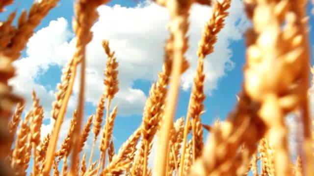 close-up campo di grano e il cielo con spazio copia - crane shot video stock e b–roll