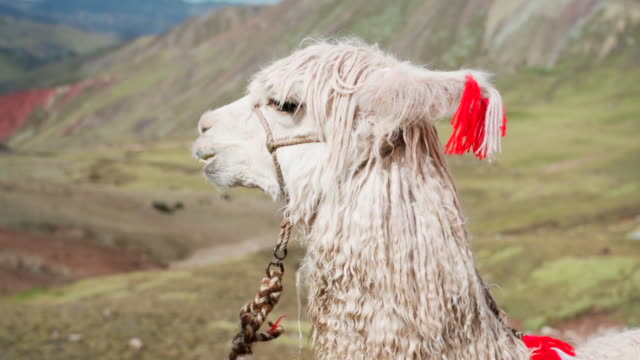 close-up of white alpaca eating against mountain, vicugna pacos with bridle - rainbow mountain, peru - animal hair stock videos & royalty-free footage