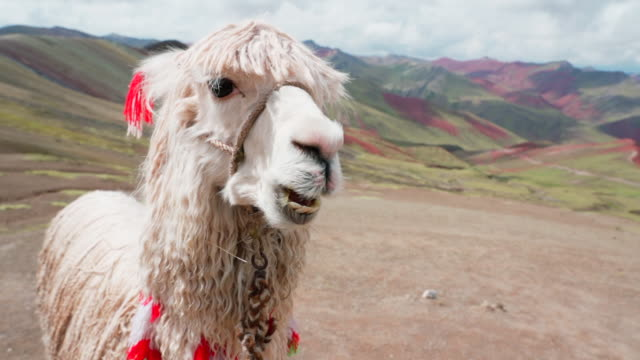 close-up of white alpaca eating against mountains on sunny day, vicugna pacos with bridle - rainbow mountain, peru - bridle stock videos & royalty-free footage