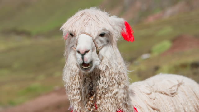 close-up of white alpaca eating on sunny day, portrait of vicugna pacos with bridle - rainbow mountain, peru - bridle stock videos & royalty-free footage