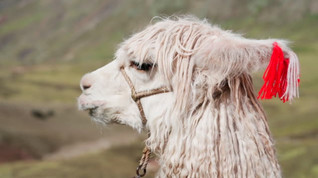 close-up of white alpaca, vicugna pacos with bridle - rainbow mountain, peru - bridle stock videos & royalty-free footage