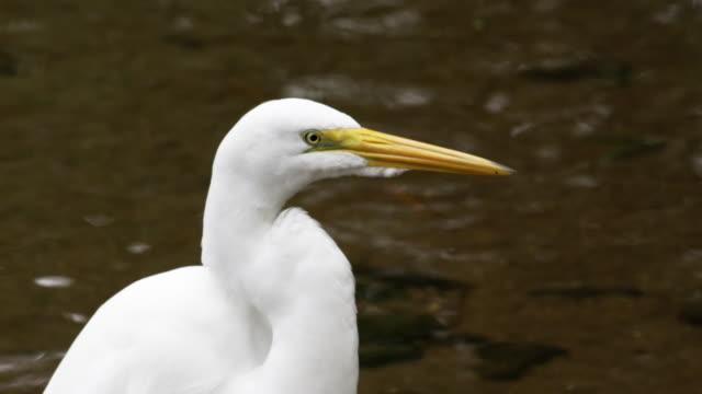 vídeos y material grabado en eventos de stock de closeup of white egret looking bird in rio, brazil. - 2013