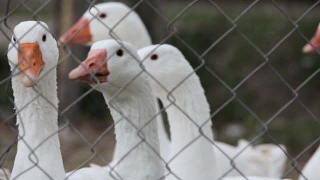 Close-up of white geese behind ring fence on a farm
