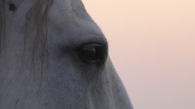 close-up of white horse against sky at sunset - camargue, france - cavalry stock videos & royalty-free footage