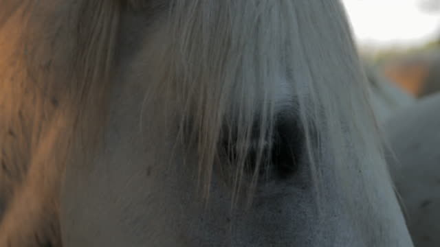 close-up of white horses - camargue, france - cavalry stock videos & royalty-free footage