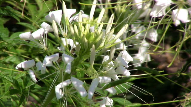 closeup of white spider flower moving in the wind - spider flower stock videos & royalty-free footage