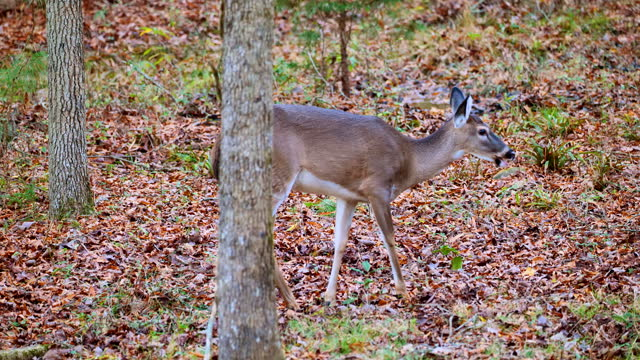 vídeos y material grabado en eventos de stock de close-up of white-tailed deer doe foraging in autumn forest - forrajear