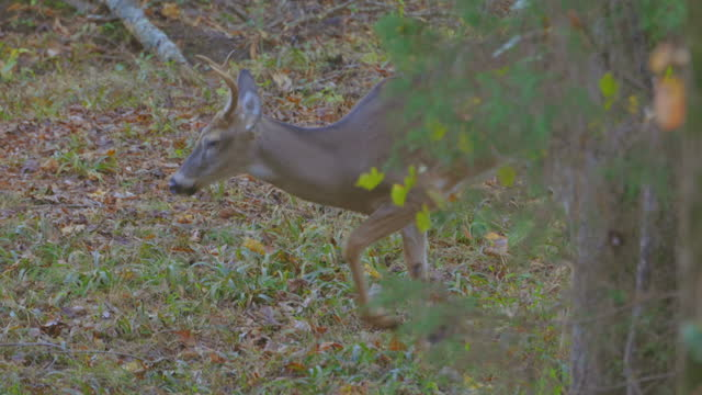 close-up of white-tailed deer foraging in woods of piedmont, north carolina - foraging stock videos & royalty-free footage