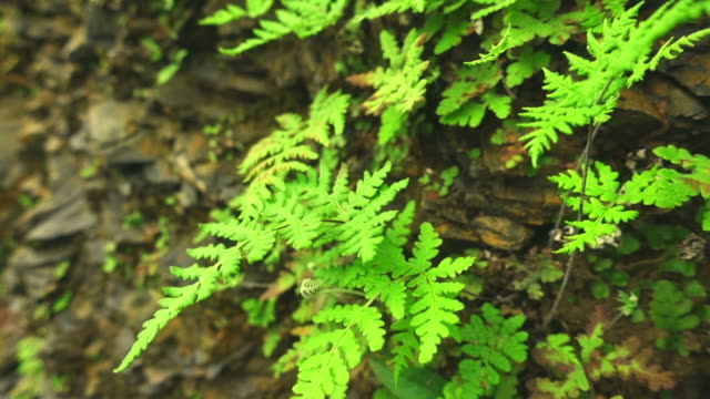 close-up of wild fern plants and sedimentary rocks in nature. - fern stock videos & royalty-free footage