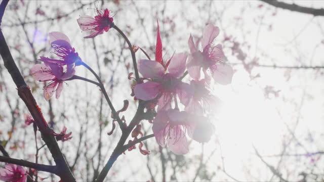 closeup of wild himalayan cherry (prunus cerasoides) blossom flower - traditionally tibetan stock videos & royalty-free footage