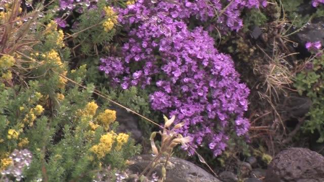 Close-up of Wild Thyme (Thymus praecox).