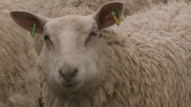Close-up of wind ruffling a sheep's woolly coat as it looks into camera.