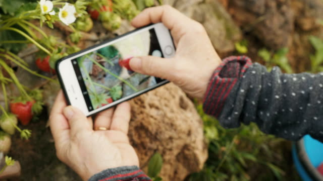 Close-up of woman's senior adult is using smart phone for taking  picture of strawberry at farm-travel and leisure activity for senior adult