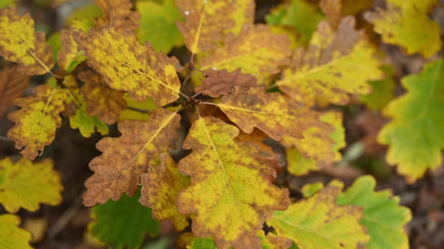 vídeos de stock, filmes e b-roll de close-up of yellow and brown oak leaves blowing in the wind in autumn. germany - exposto ao tempo