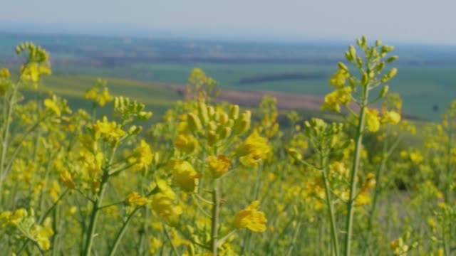 close-up of yellow canola oil flowers on light breeze and green fields in background under blue sky. flowering oilseed rape in spring - rapeseed oil stock videos and b-roll footage