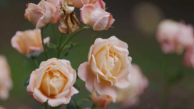 vídeos de stock e filmes b-roll de close-up of yellow rose flower blossoming in the garden - ramo parte de uma planta