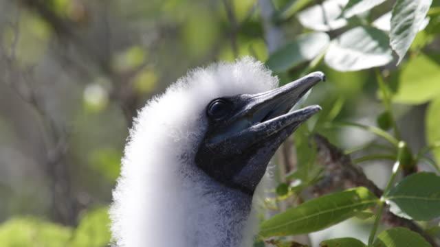 vídeos y material grabado en eventos de stock de close-up of young red-footed booby sitting on a tree in his nest, isla genovesa, galã¡pagos, ecuador - alcatraz patirrojo