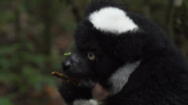 close-up on an indri lemur's face as it eats - インドリ点の映像素材/bロール