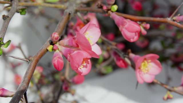 closeup on bouquet of quince blossoms - quince stock videos & royalty-free footage