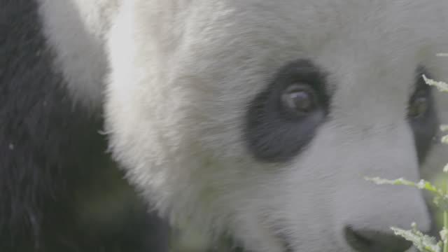 close-up on panda's face, wolong panda reserve - tierkopf stock-videos und b-roll-filmmaterial