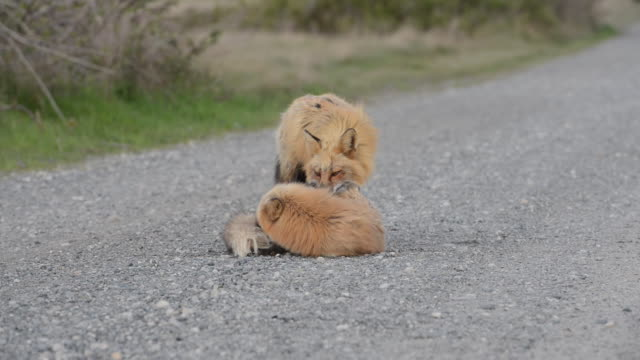 close-up: one fox grooming another fox on a gravel path - sitting stock videos & royalty-free footage