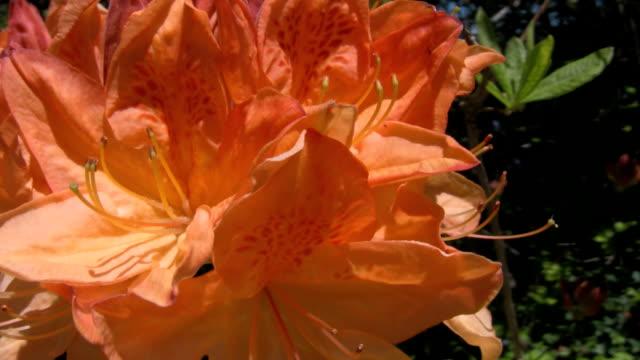 vídeos de stock e filmes b-roll de laranja grande plano mollias azálea flor e bush - estame