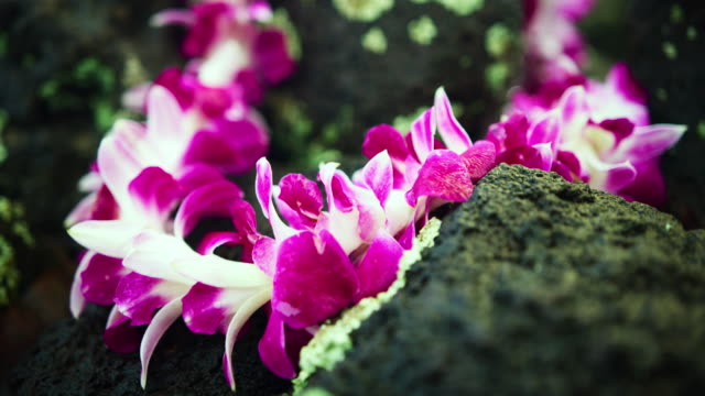 close-up: orchid petals on a lei and a lava rock - oahu, hawaii - orchid stock videos & royalty-free footage