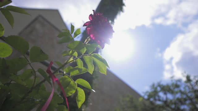 close-up pan from a low-angle of a single blooming purple rose, with a stone wall background, blue sky, and bright direct sunlight - erfurt, germany - single rose stock videos & royalty-free footage
