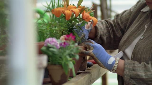 close-up pan senior asian woman gardening in greenhouse / des moines, king county, washington, usa - オニユリ点の映像素材/bロール