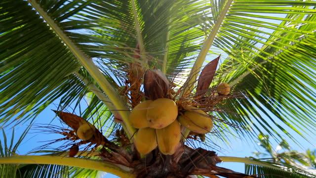 close-up panning shot of coconuts on palm trees during sunny day - big island, hawaii - big island hawaii islands stock videos & royalty-free footage