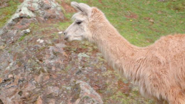 close-up panning shot of llama walking on mountain, mammal on grass - cusco, peru - 草食性点の映像素材/bロール