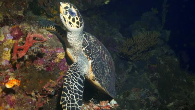 close-up panning shot of sea turtle swimming by coral reef in ocean - wakatobi regency, indonesia - sea turtle stock videos & royalty-free footage
