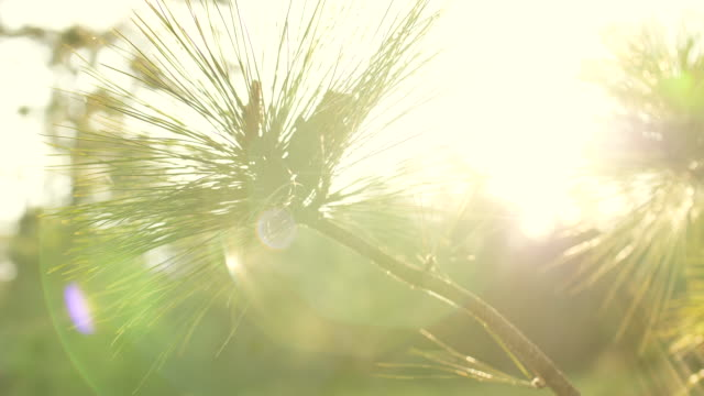 close-up pine tree with sunlight and flare - branch stock videos & royalty-free footage