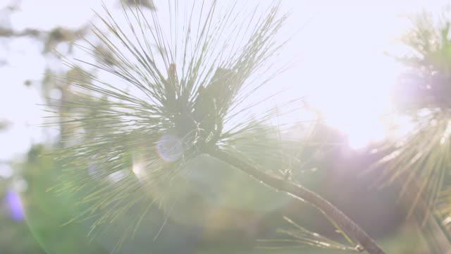 日光とフレアを含む松の木をクローズアップ - とげ点の映像素材/bロール